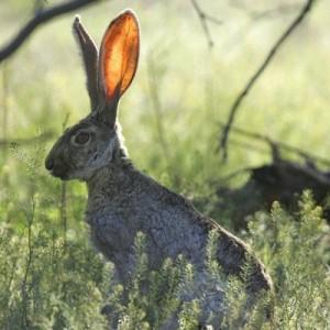 jackrabbit-rabbit-listening-still_400_400